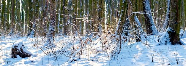 Панорама зимнего леса в солнечный день. зимний пейзаж с деревьями в лесу
