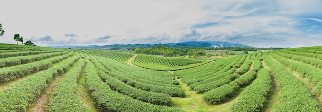 Panorama tea tree farm