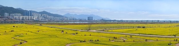 Panorama view of big yellow rape flowers in busan city south korea.