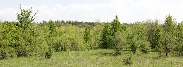 Panorama of young forest