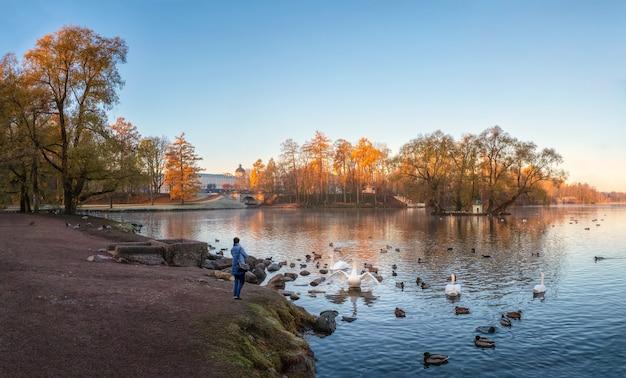 Панорамный осенний вид на утренний парк с лебедями и силуэт одинокой женщины на берегу. гатчина. россия.