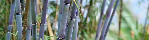 Panoramic green and blue bamboo jungle background
