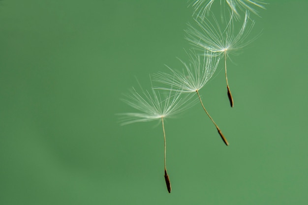 Panoramic image of a dandelion seed close-up on a green background