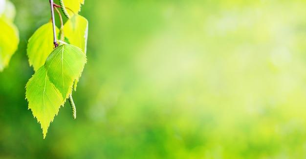 Панорамный вид в нежных зеленых тонах с березовыми листьями справа
