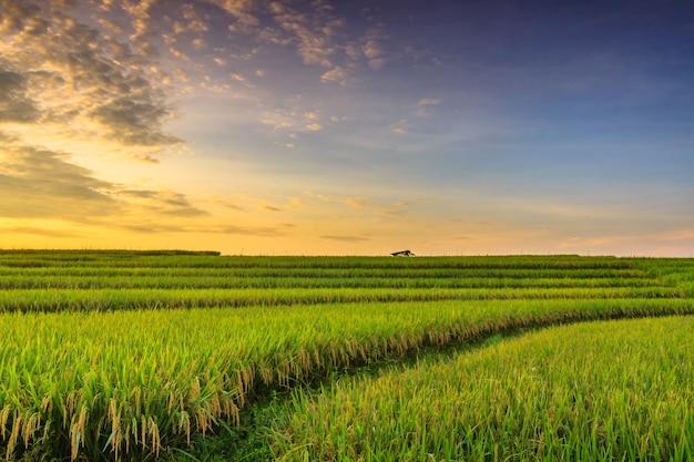 Panoramic landscape of beautiful minimalist rice fields