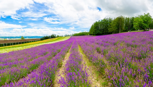 Panoramic lavender flower field and blue sky in furano, hokkaido, japan.