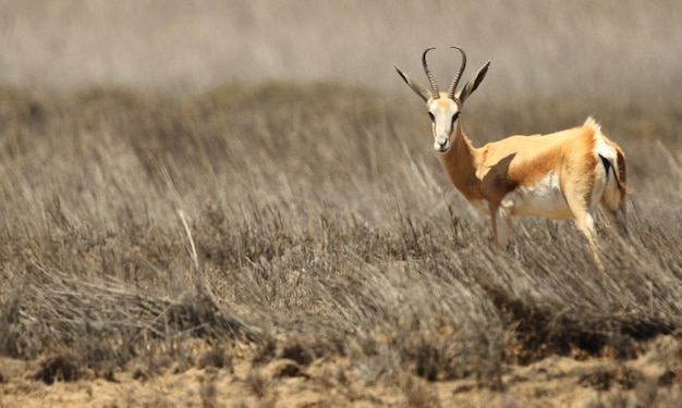 Panoramic shot of a gazelle standing on the grassy savanna plane