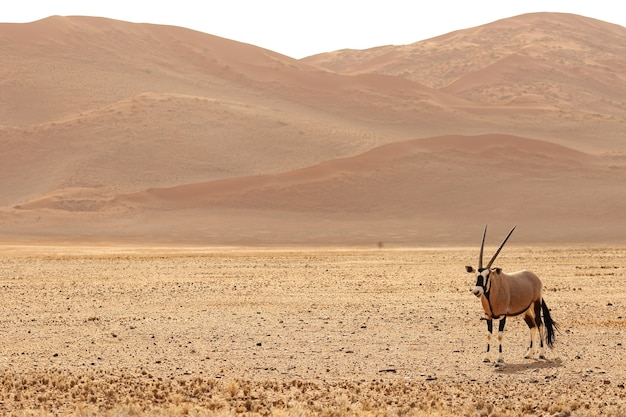 Panoramic shot of a gemsbok standing on a bare plain with hills