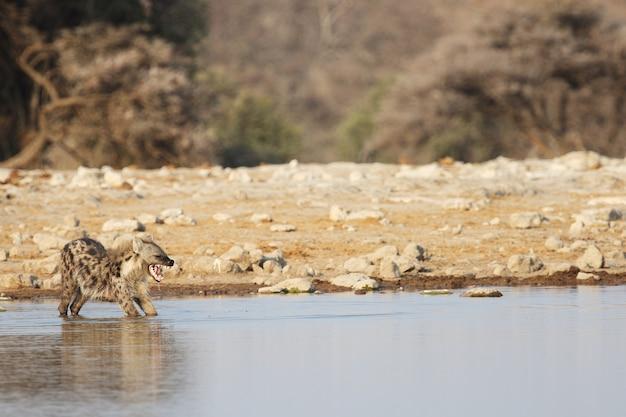 Foto panoramica di una iena che si estende in una pozza d'acqua