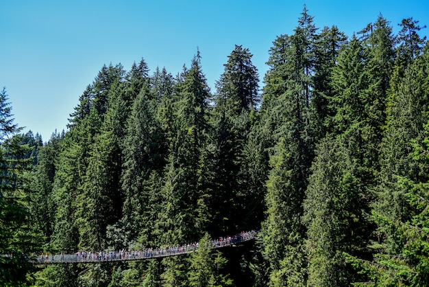 Panoramic shot of people on a hanging bridge through tall forest trees on a sunny day