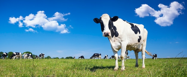 Panoramic view of black and white cow on green grass