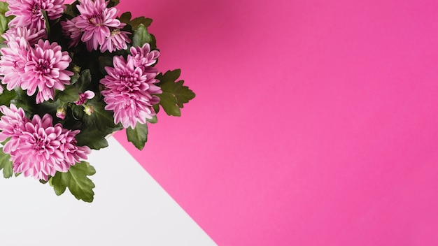 Panoramic view of chrysanthemum flower bouquet on white and pink background