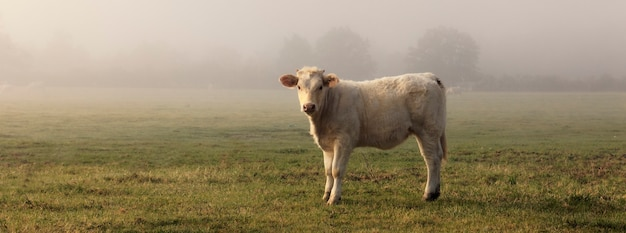 Panoramic view of cow in field with fog