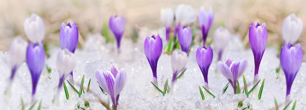 Panoramic view on crocus blooming in the snow