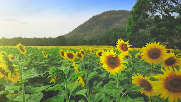 Panoramic view field of sunflowers of blue sky