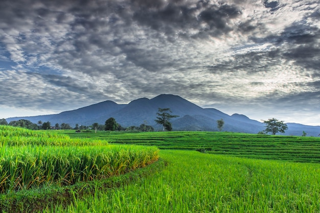 Panoramic view of green and beautiful rice fields
