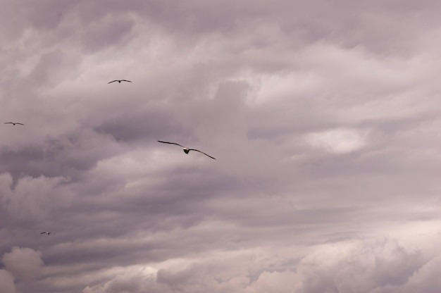 Panoramic view of a group of seagulls flying against a stormy sky-scape.