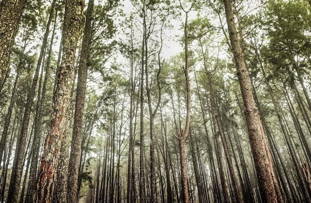 Панорамный вид изнутри на хвойный лес, путь через сосновый лес