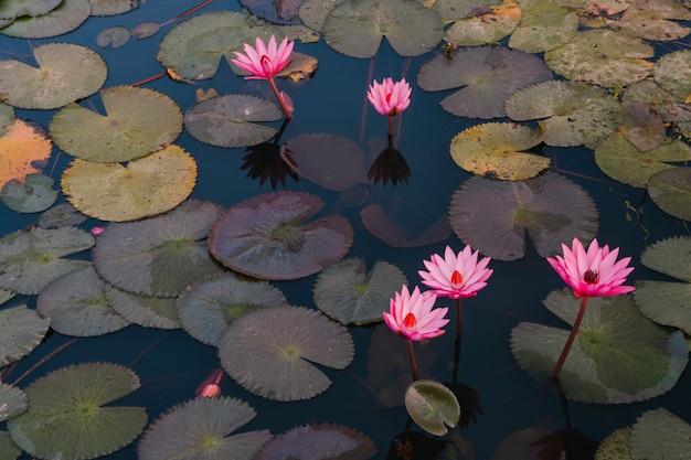 穏やかな池にカラフルなピンクのスイレンのパノラマビュー。春夏シーズンシーズンの変更。季節の変化と自然のコンセプト。自然なライフスタイル。植物と水。桜の花と川。