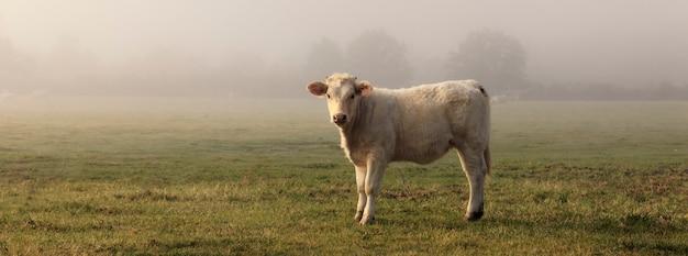 Панорамный вид коровы в поле с туманом