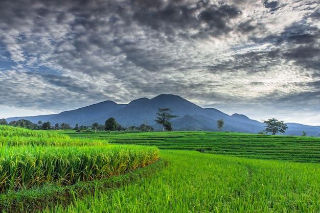 Панорамный вид на зеленые и красивые рисовые поля