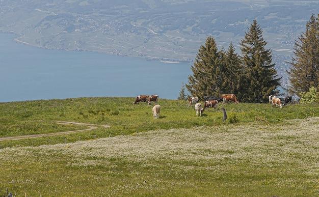 草を食べる牛の群れとスイス、ラヴォーのパノラマビュー
