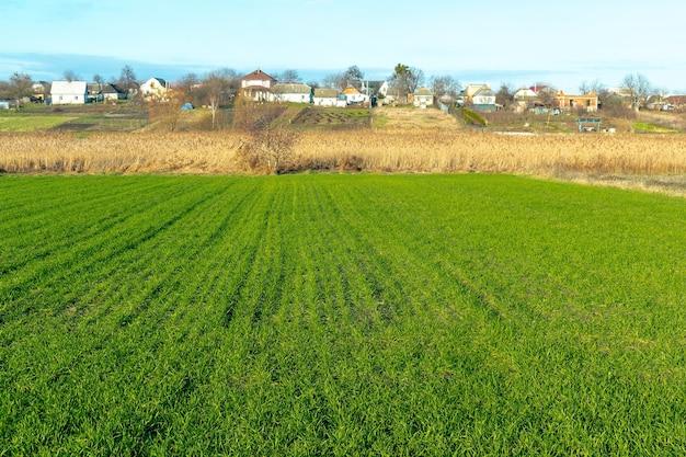大きな緑の野原に若い芽のラインのパノラマビュー。