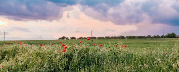Панорамный вид на поле poopy на холме с небом цвета голубого. поляна красных маков в вечерней природе.