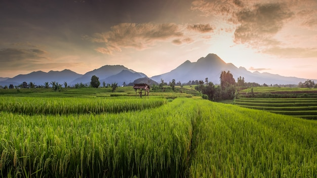 Panoramic view of rice fields in the morning with yellowing rice in the morning in north bengkulu, indonesia