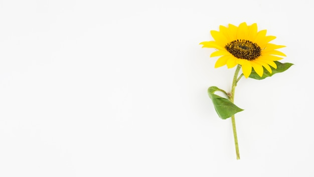 Panoramic view of single yellow sunflower on white background