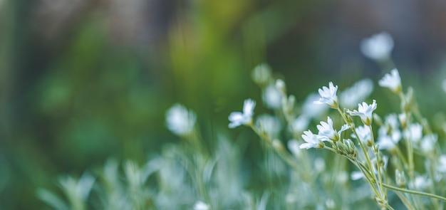 白い花と背景アートを春にパノラマビュー。春の日、クローズアップ、フィールドの浅い深さ。晴れた日の春の花の草原