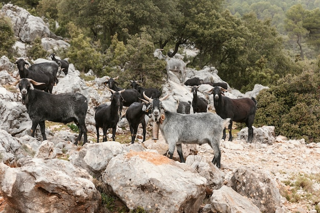 Panoramic view of wild goats in nature