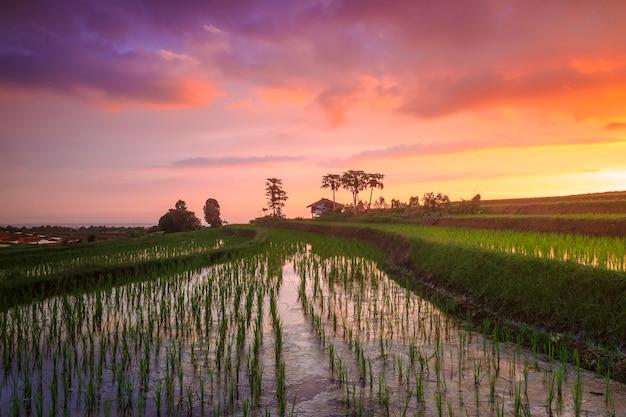 새로 심은 녹색 쌀과 인도네시아의 붉은 오후 하늘이있는 계단식 논 전경