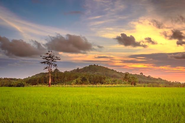 새로 심은 노란색 쌀과 인도네시아의 붉은 오후 하늘이있는 계단식 논 전경