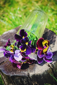 Pansies blooming flowers. selective focus. flora and fauna.