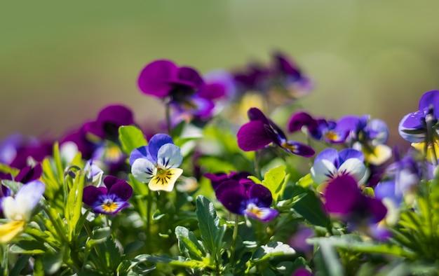 Цветы анютины глазки в саду