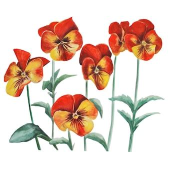 パンジー、ビオラ、オレンジ色の花。リアリズム。植物の水彩イラスト