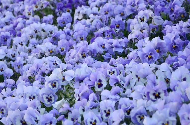 Закройте вверх по голубым и фиолетовым pansies в саде. сезонные натуральные фото