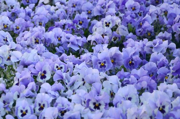 Закройте вверх по голубым и фиолетовым pansies в саде.