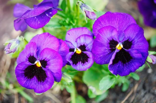 무성한 녹색 배경에 팬지 꽃 생생한 봄 색상. 매크로 이미지. 선택적 초점.