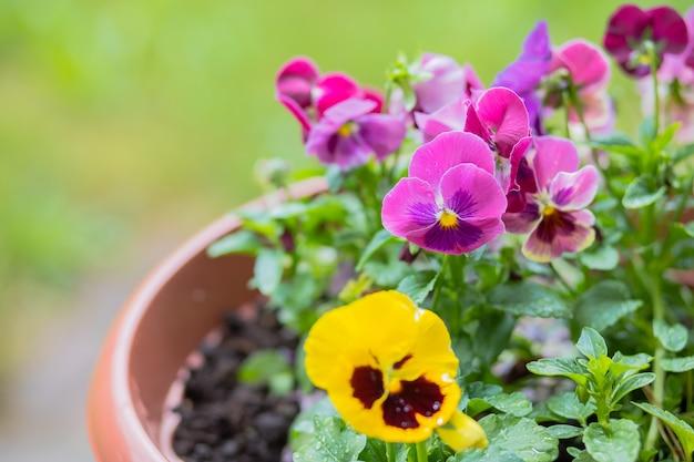 Красочные цветки зацветая в саде. белые желтые и фиолетовые цветки pansy. смешанные анютины глазки на клумбе. красивый фиолетовый желтый heartsease. скопируйте пространство