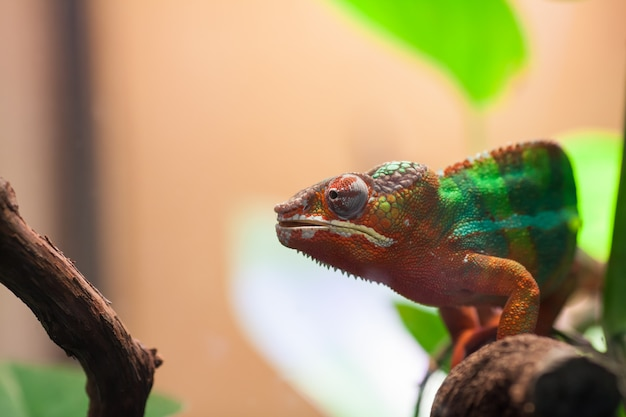 A panther chameleon sits on a branch.