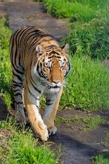 Сибирский тигр, (panthera tigris altaica), гуляет по грунтовой дороге с растительностью, с полуденным солнечным светом