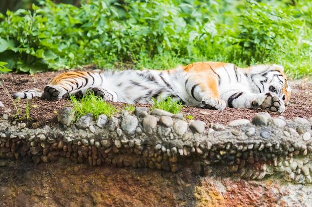 Дикий бенгальский тигр (panthera tigris tigris) в джунглях