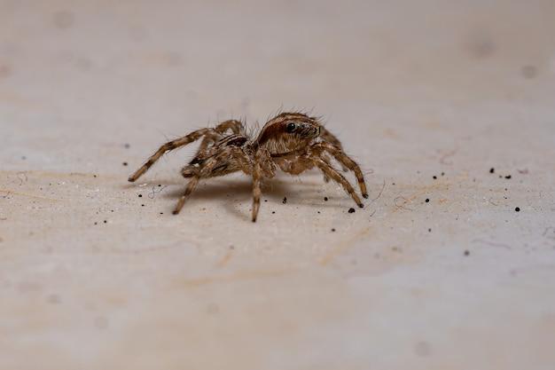 Plexippuspaykulli種のパントロピカルハエトリグモ
