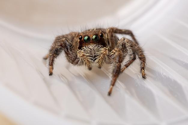 Pantropical jumping spider of the species plexippus paykulli