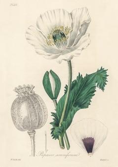 Опийный мак (papaver somniferum) иллюстрация из медицинской ботаники (1836)