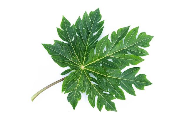 白い背景の上のパパイヤフルーツの葉。