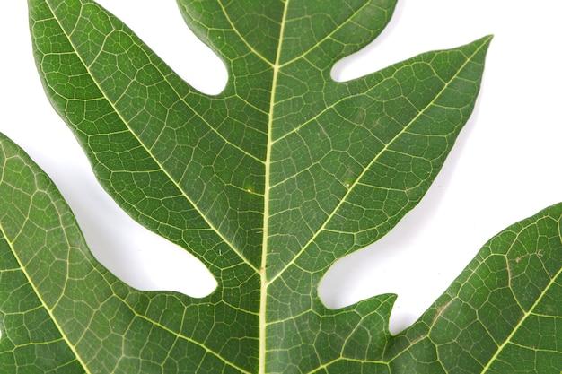 Papaya leaf isolated on a white background