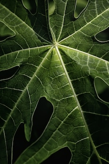 Papaya leaf in nature.